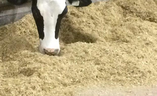 Dry Cow Feeding Strategy